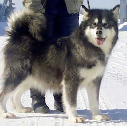 Alaskan Malamute dam (Yukonjak's Wildpaw Kodiak X Ice Mtns She's Chasin Klouds) with major lines Skyfyre, Bearpaw)