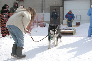 AKC purebred Alaskan Malamute Bert winning a gold medal at at another Alaskan Malamute Rescue event