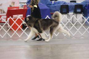 CKC Champion Alaskan Malamute Yukonjak's Seal of Distinction