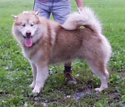 Alaskan Malamute sire (Yukonjak's Wildpaw Kodiak X Ice Mtns She's Chasin Klouds) with major lines Skyfyre, Bearpaw, Storm Kloud, Strawberry Mountain)