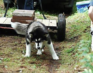 CKC Purebred Alaskan Malamute Yukonjaks Seal of Distinction - Ooky - showing her weight pull form