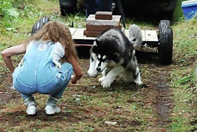 Alaskan Malamute Yukonjaks Seal of Distinction - Ooky - showing her form at a weight pull