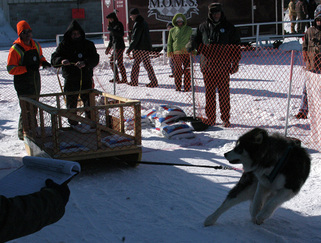 CKC Purebred Alaskan Malamute Yukonjaks Ooky winning gold at Alaskan Malamute Rescue League Winter Pull