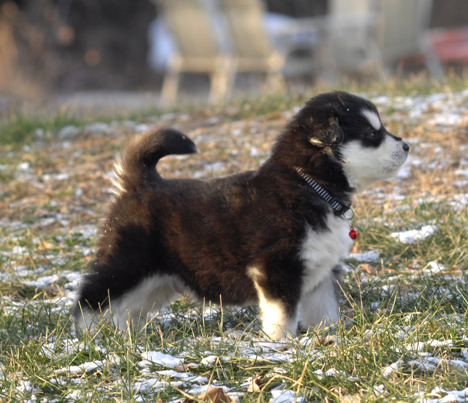 Alaskan Malamute Puppy Puppies For Sale In Ontario Cost Price
